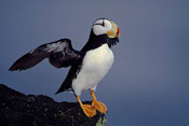 Horned Puffin with Wings Up