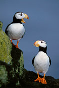 Horned Puffins Talking Couple