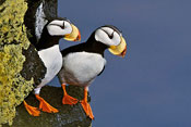 Horned Puffins at Cliff Edge