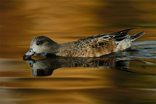 American Widgeon Hen